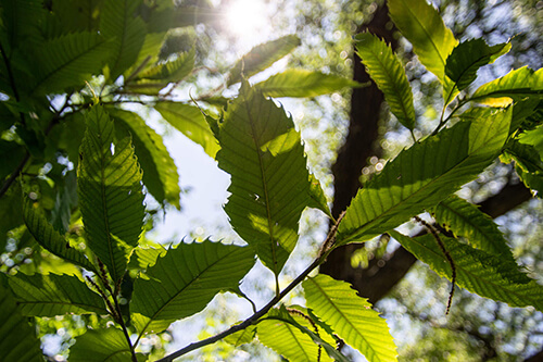 Leaves of an American Chestnut tree.