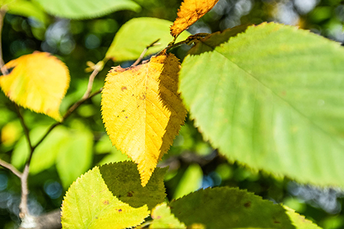 American Hophornbeam Leaves in the fall