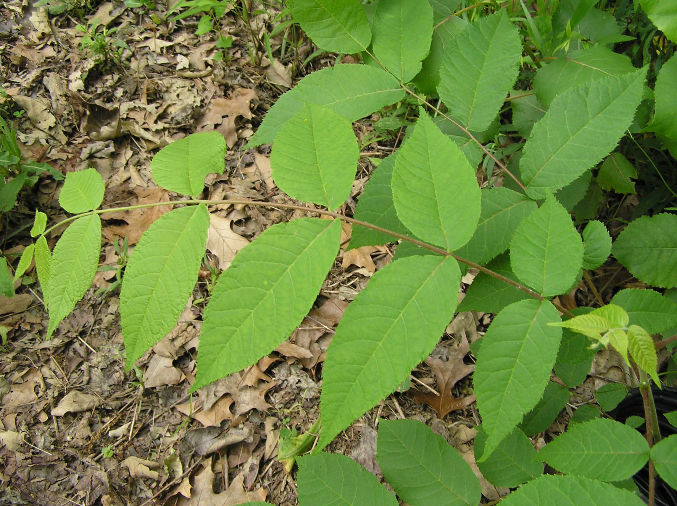Black Walnut tree leaves in spring