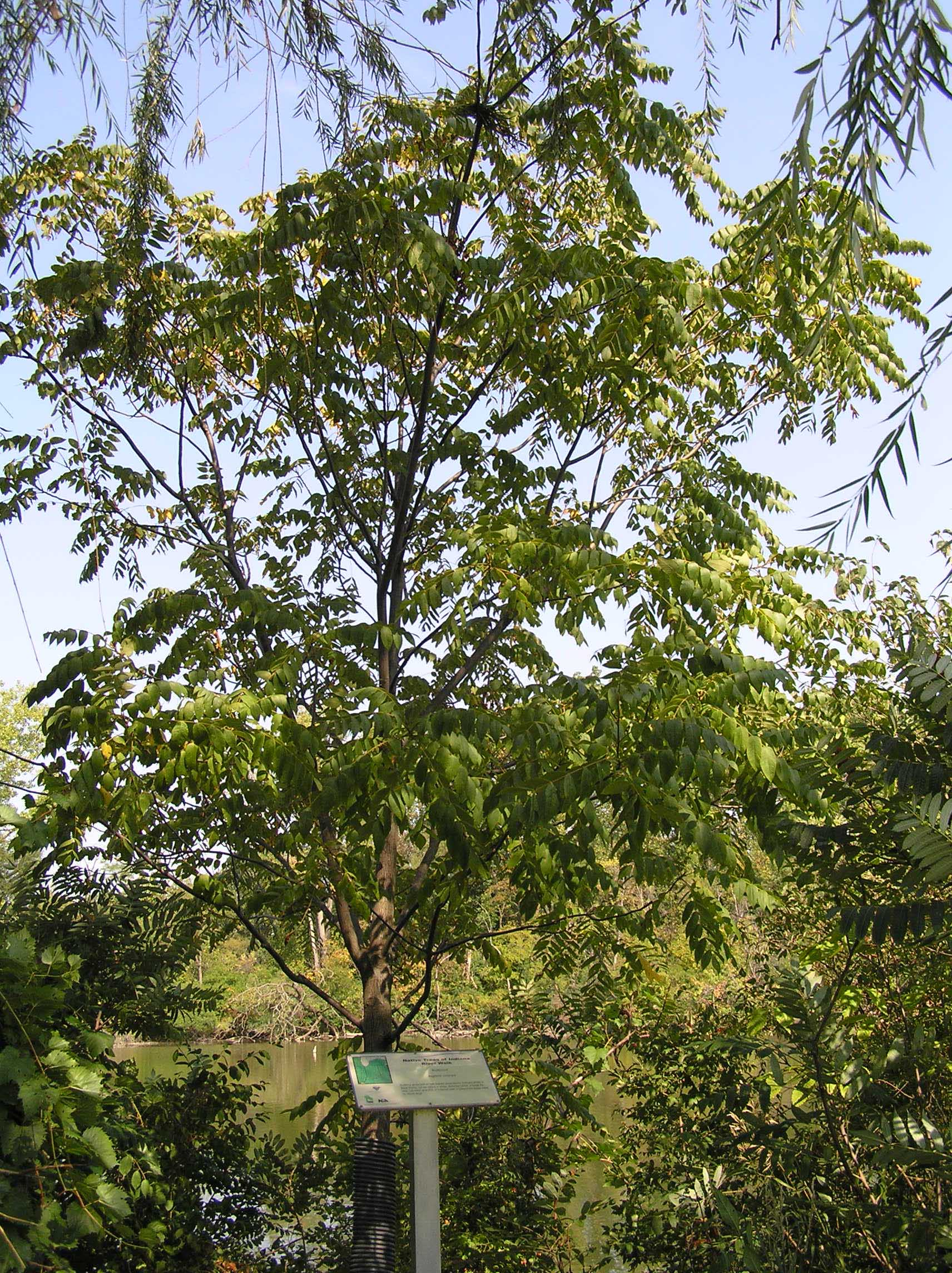Butternut - Native Trees of Indiana - Purdue Fort Wayne
