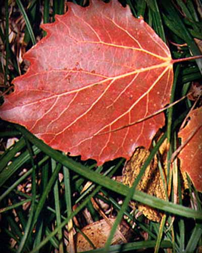 Bigtooth Aspen Leaf in Fall