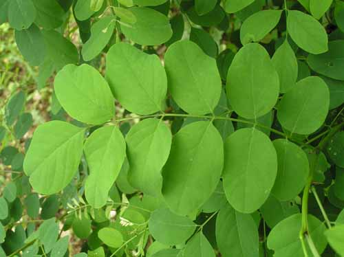Black Hickory tree leaves in spring