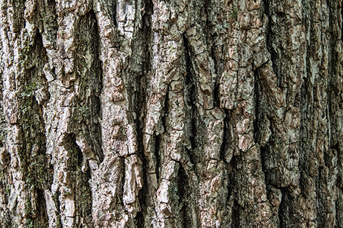 Close-up of bark on the Black Walnut tree's trunk