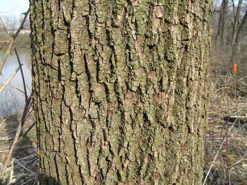 Black Walnut tree bark
