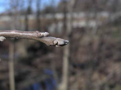 Black Walnut tree Bud