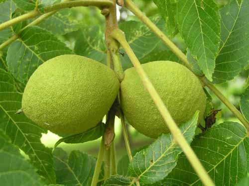 Black Walnut tree fruit