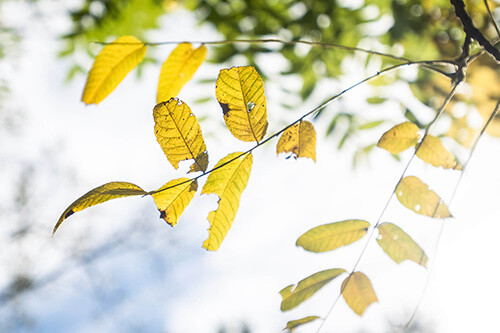 Black Walnut leaves yellowing with brown edges against the sky
