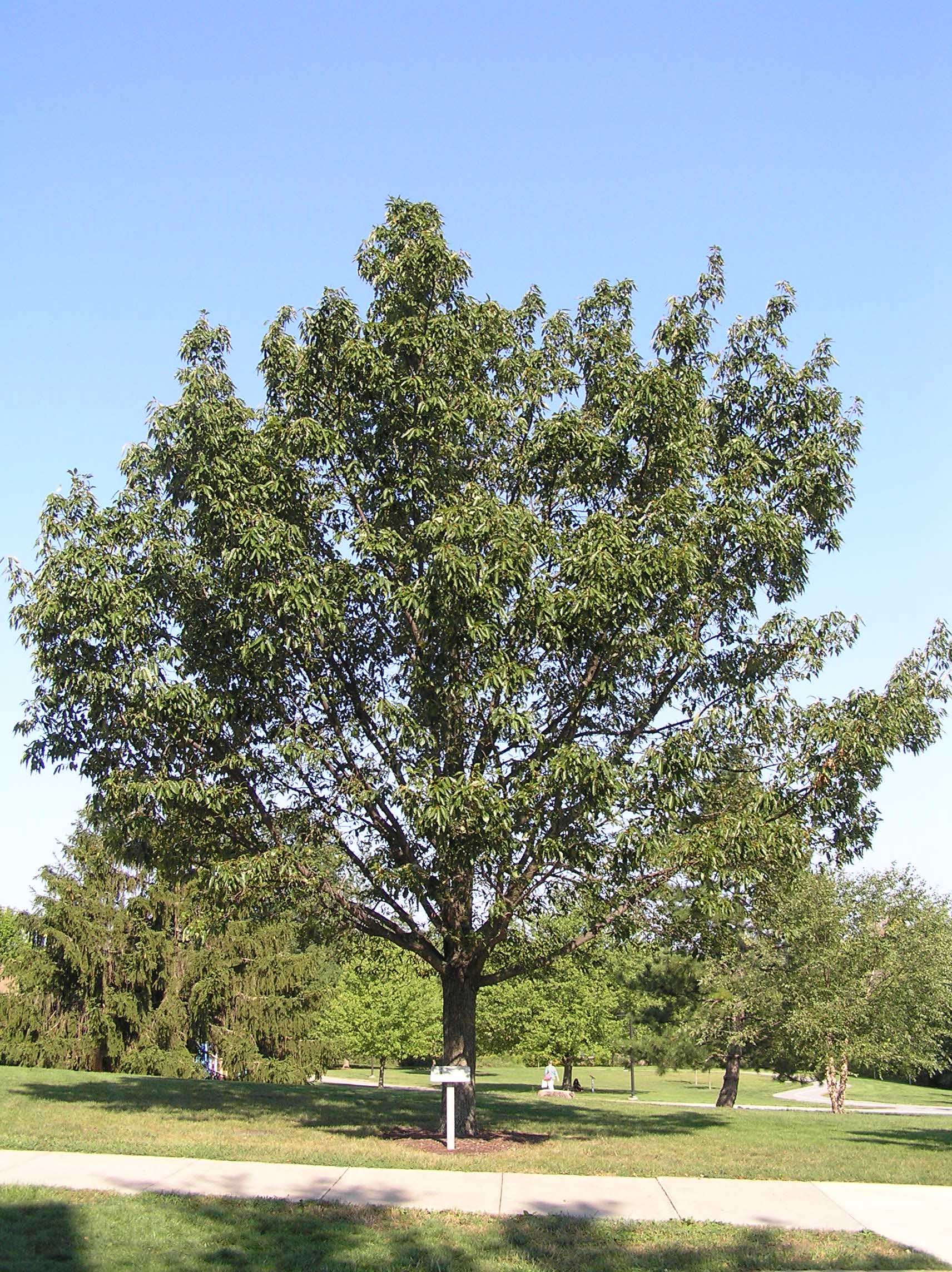 Chestnut Oak Native Trees Of Indiana Purdue Fort Wayne