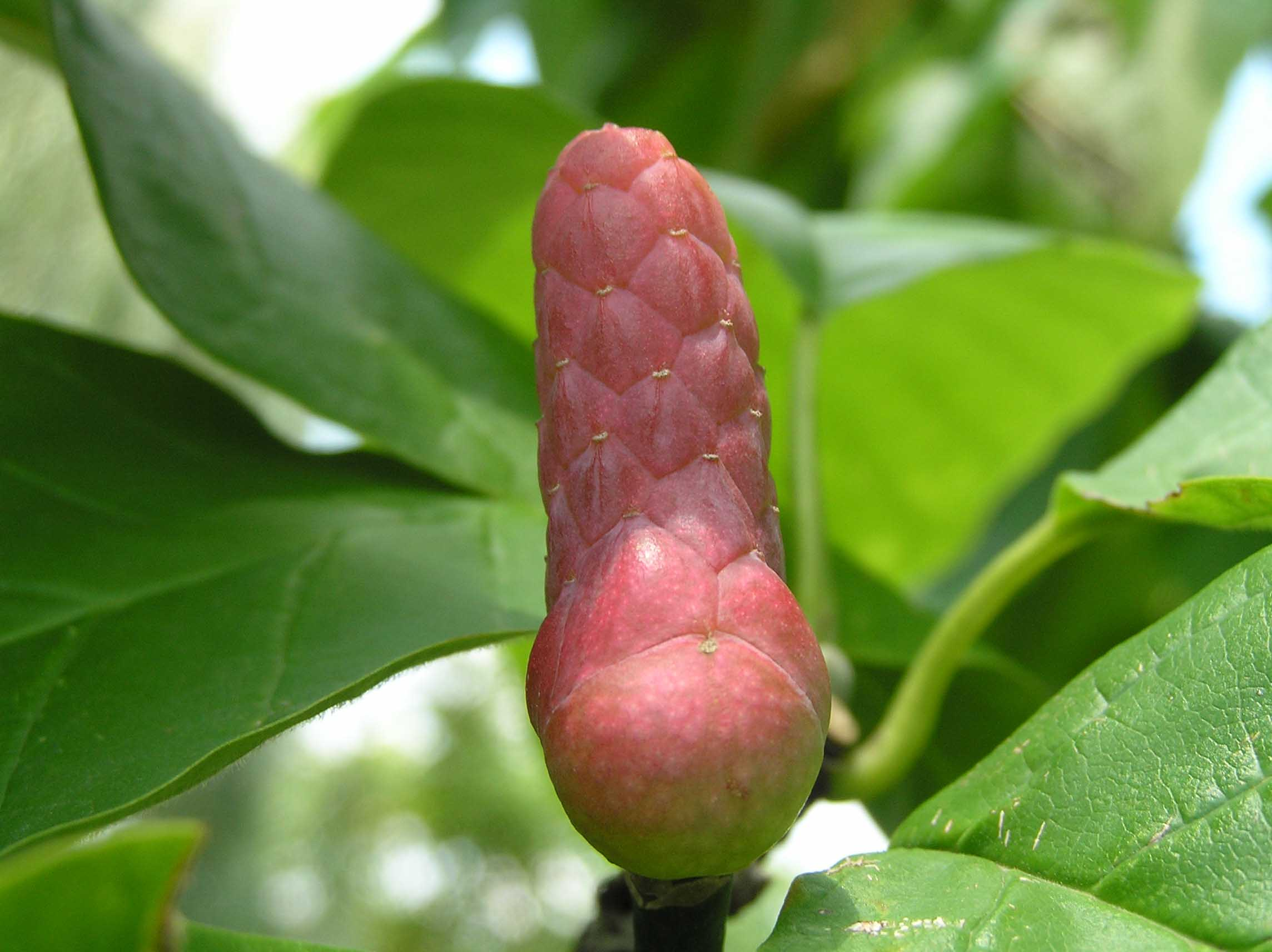 Cucumber Magnolia Native Trees Of Indiana Purdue Fort Wayne