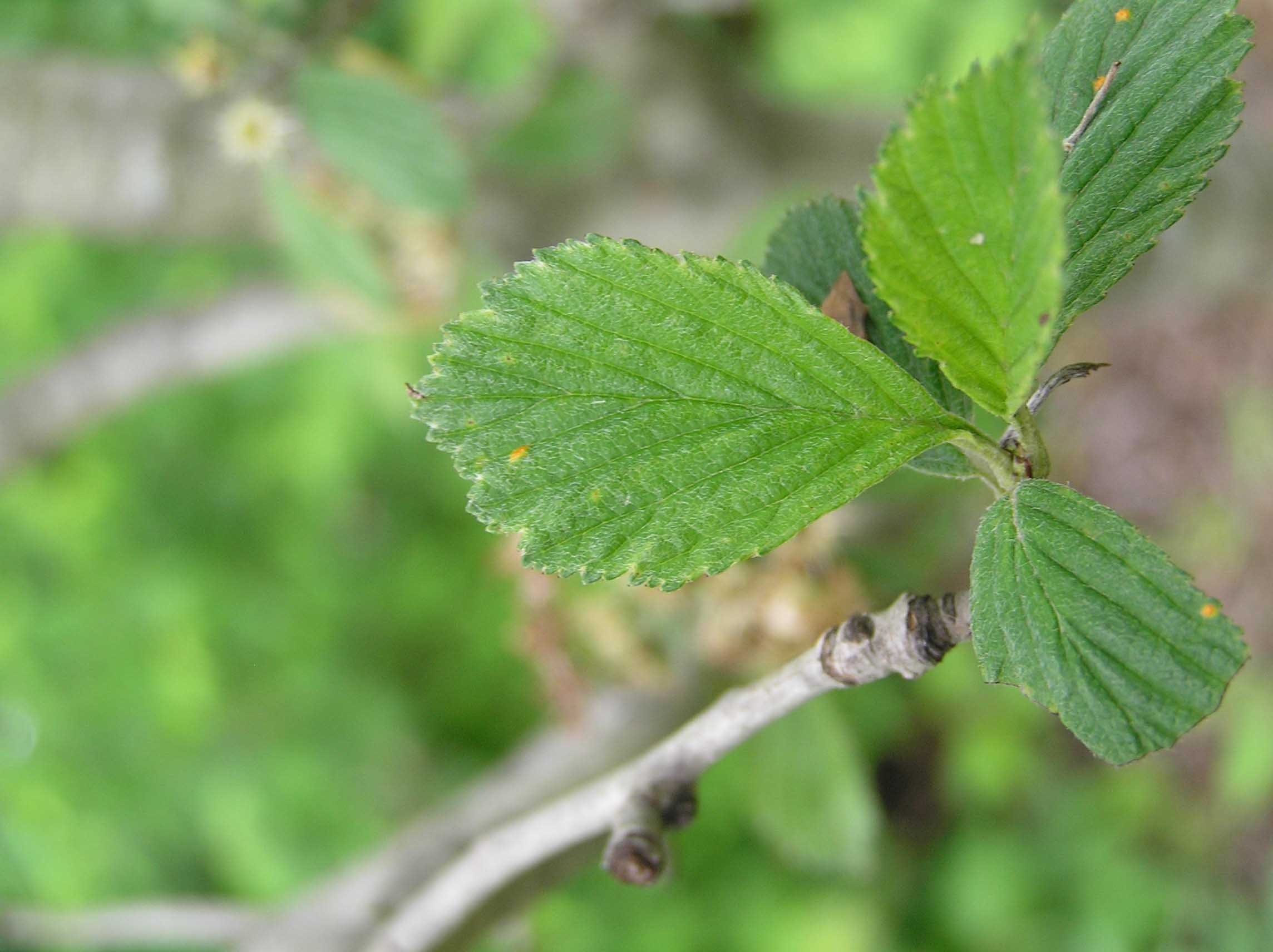Dotted Hawthorn - Leaves - Spring