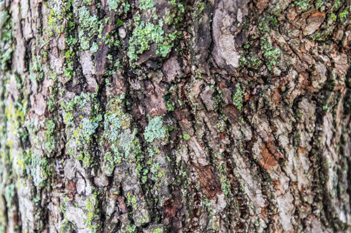 Close-up of bark on the trunk with light green moss present.