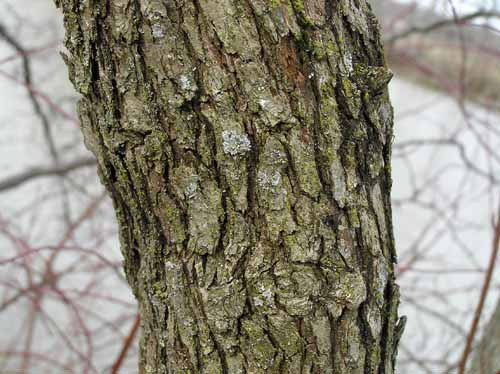 Downy Hawthorn bark