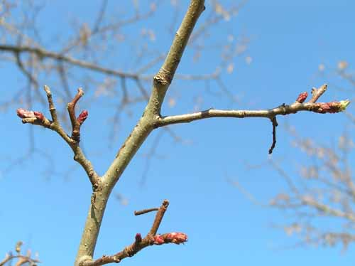 Downy Hawthorn tree branch