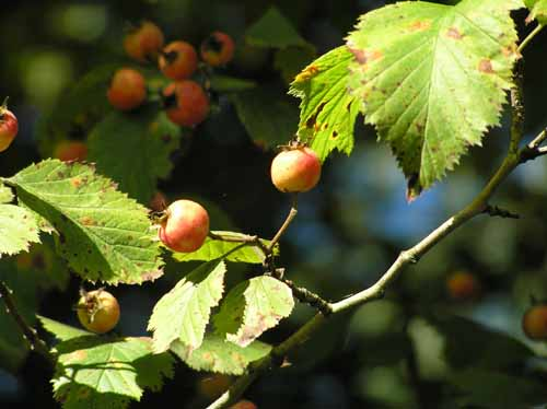 Downy Hawthorn fruit