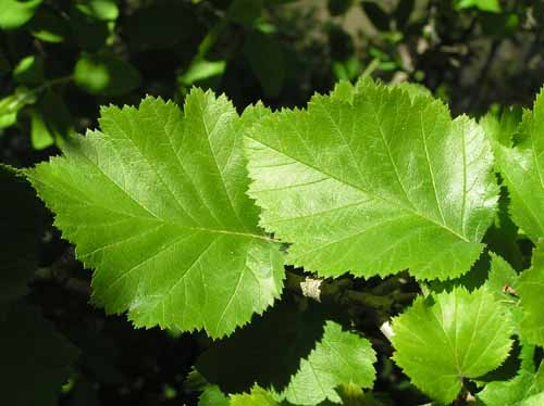 Downy Hawthorn tree leaves in the spring