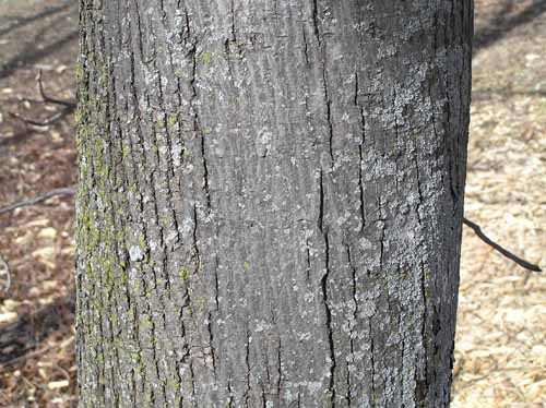 Downy Serviceberry tree bark