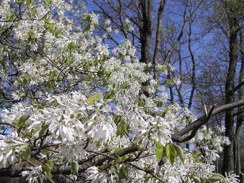 Downy Serviceberry tree Flowers