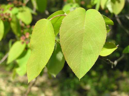 Downy Serviceberry leaves in spring
