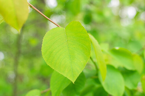 Leaves of a Downy Serviceberry tree.