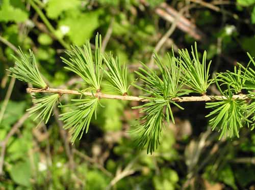 Eastern Larch leaves