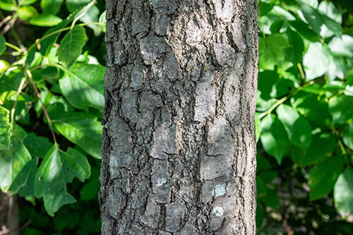 The bark of a Hill's Oak tree.