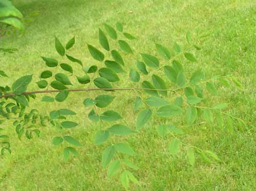 Leaves of a Kentucky Coffeetree.