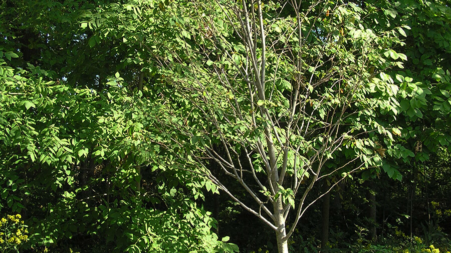 Allegheny Serviceberry