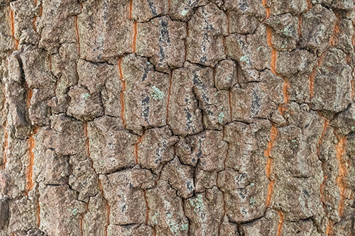 Bark of a Persimmon tree.