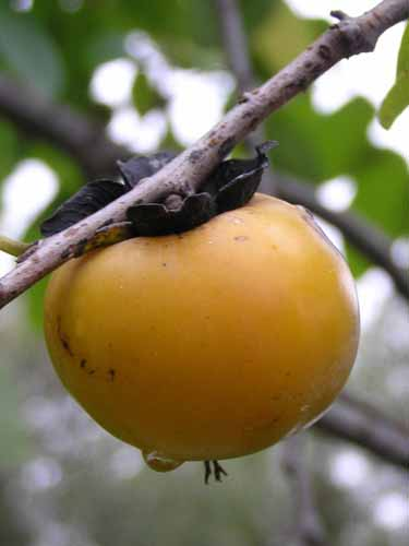 Fruit of a Persimmon tree.