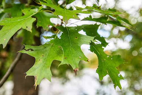 Leaves of the Pin Oak tree.