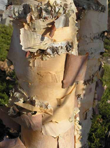 Bark of a River Birch tree.