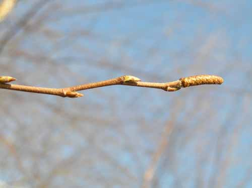 Bud of a River Birch tree.