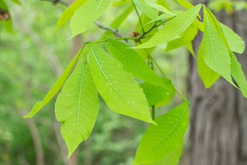Leaves of a Shagbark Hickory tree.