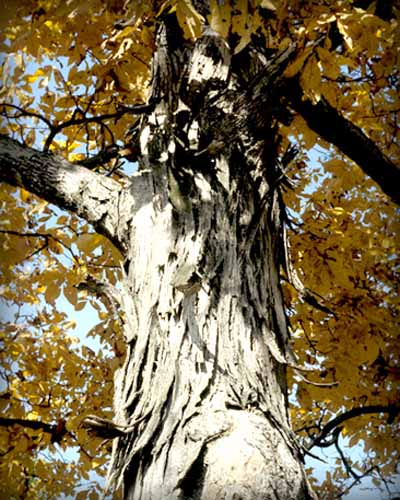 Bark of a Shagbark Hickory tree.