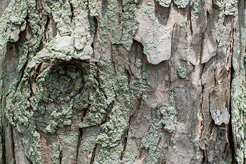 Bark of a Silver Maple tree.