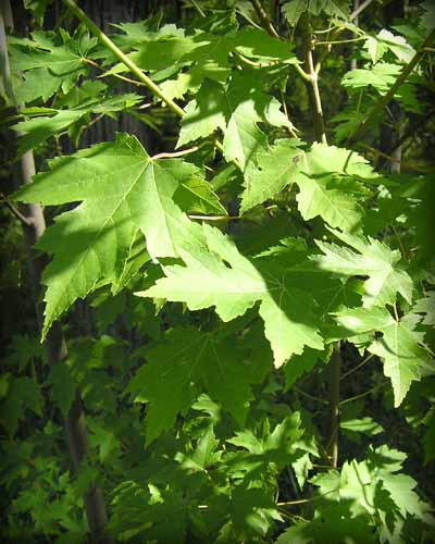 Leaves of a Silver Maple tree.