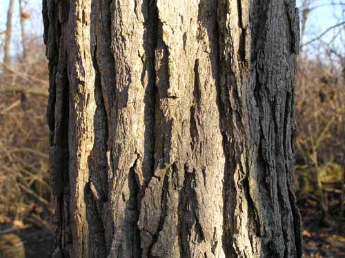 Bark of a Swamp Cottonwood tree.
