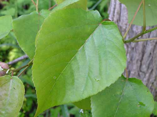 Leaves of a Swamp Cottonwood tree.