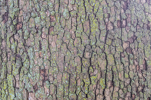 The bark of a Sycamore tree.