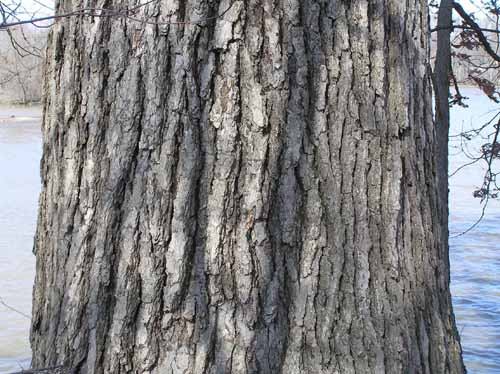 Bark of a White Oak tree.