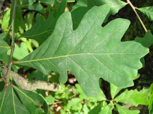 Leaves of a White Oak tree.