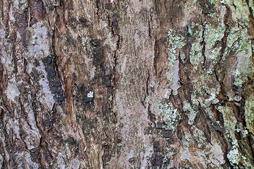 The bark of a Wild Sweet Crabapple tree.