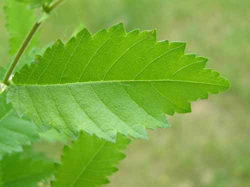 Leaves of a Winged Elm tree.