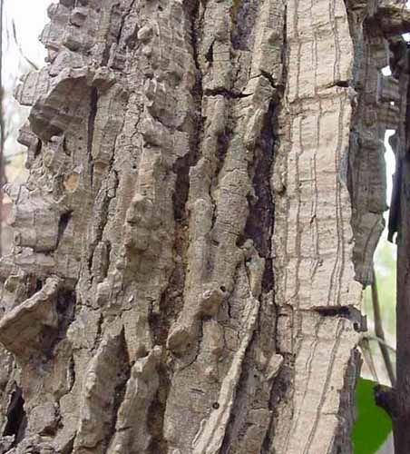Bark of a Winged Elm tree.