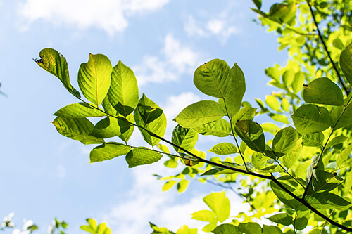 A close-up of leaves on a branch against a blue sky